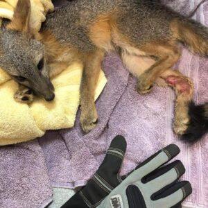 Fox Rescue Feature