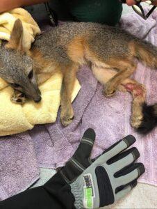 Fox Rescue02