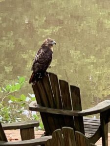 Red Tail Hawk Rescue 02