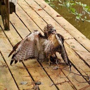 Red Tail Hawk Rescue Featured