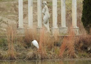 Great Egret Rescue02