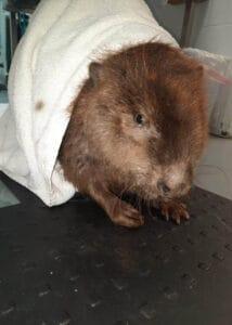 armor hand beaver rescue 02