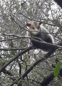 armor hand opossum rescue 05