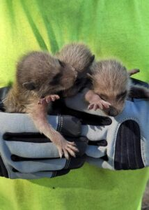 armor hand baby raccoon rescue 05