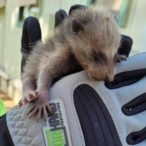 armor hand baby raccoon rescue feature