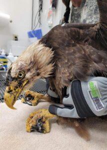 armor hand bald eagle rescue 02