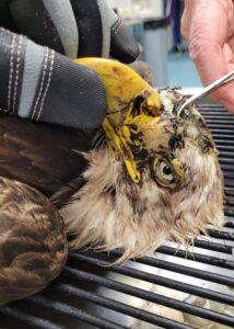 armor hand bald eagle rescue 04