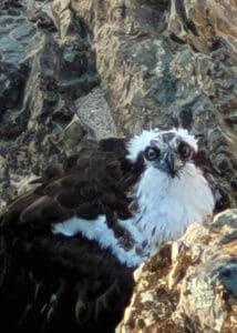 armor hand osprey rescue 02