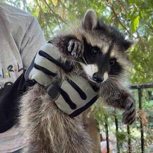 armor hand raccoon rescue feaature