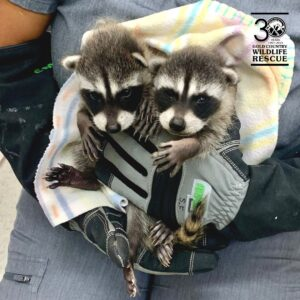gcw baby raccoon rescue feature